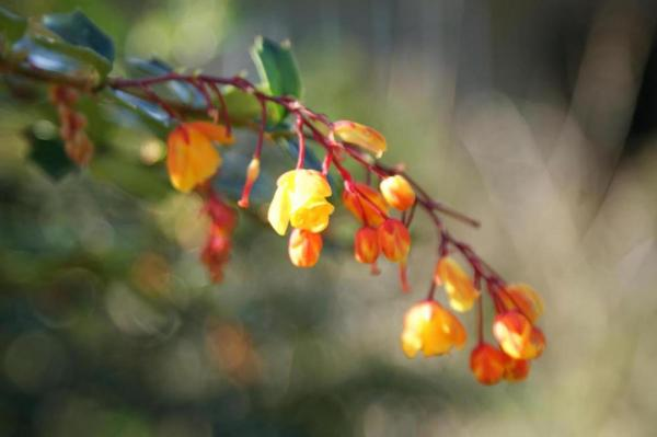 berberis photo acceuil